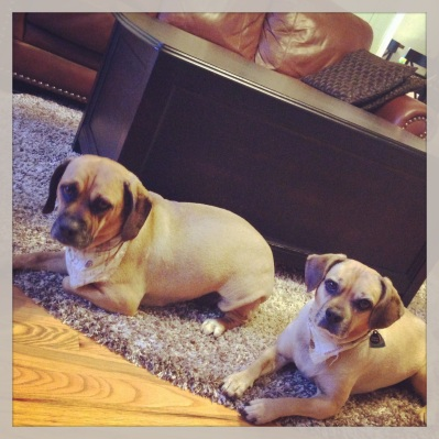 12:40pm--these stinkers are always so lazy once the weather turns cold. #puggles